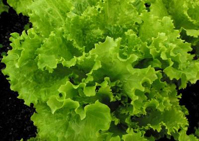 Dehydrating Lettuce
