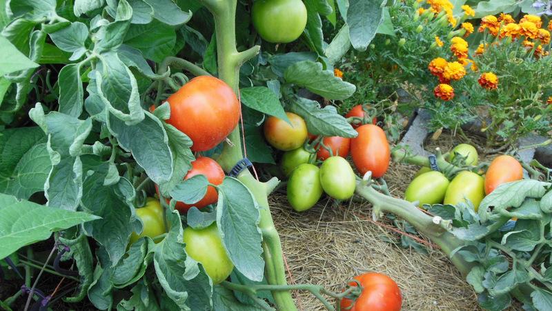 vertical-garden-tomatoes