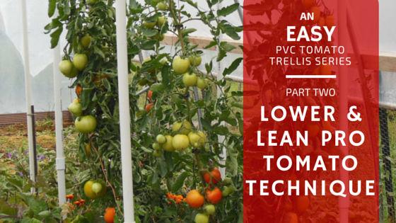 Easy PVC Tomato Trellis Part 2: Lower and Lean Tomato Technique