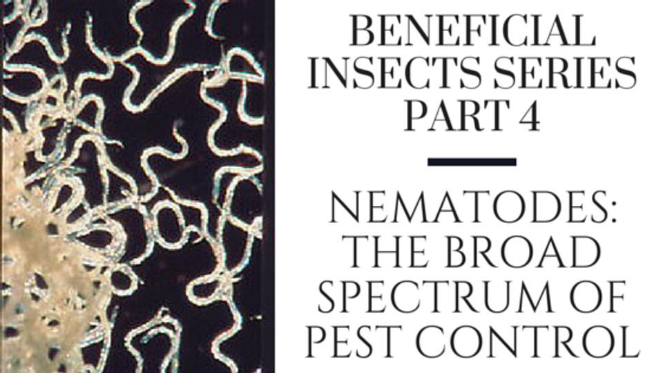 Organic pest control using beneficial nematodes for Beneficial nematodes for termites
