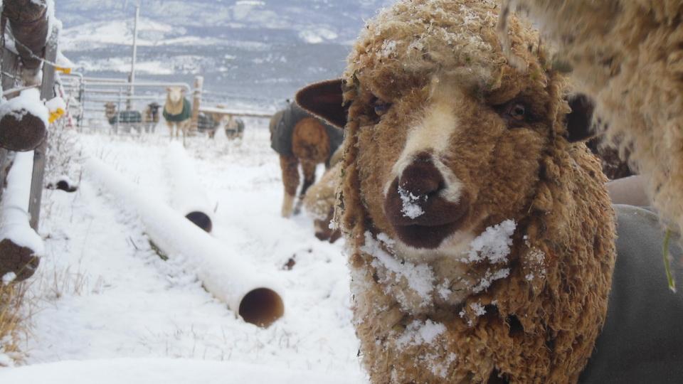 Hazelnut the Sheep's First Snow