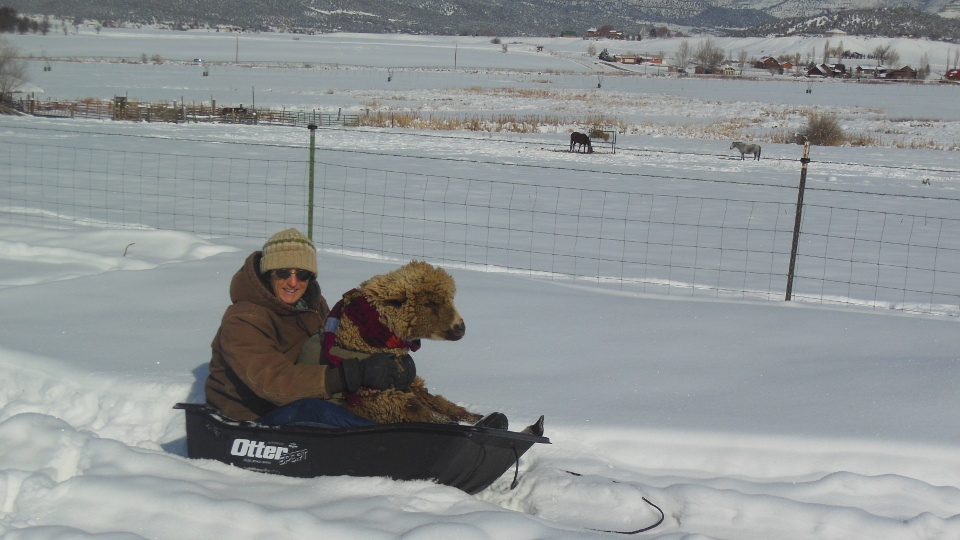 Hazelnut the Sheep Goes Sledding