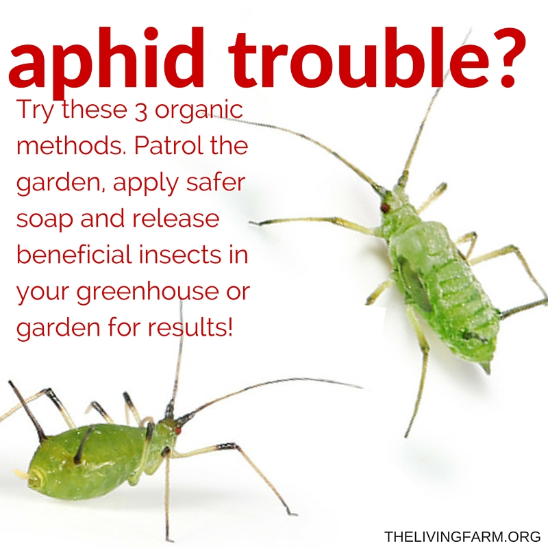 3 easy organic aphid control techniques for the garden. Black Bedroom Furniture Sets. Home Design Ideas