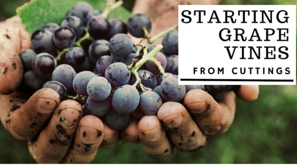 how to grow vines from cuttings